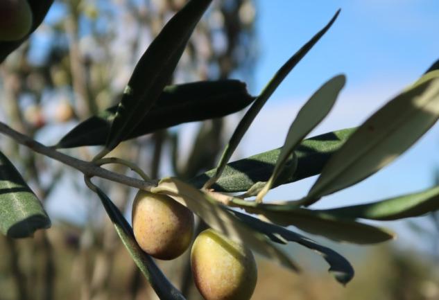 Hasat Zamanı: Zeytinin Tarih, Doğa ve Gastronomi Yolculuğu