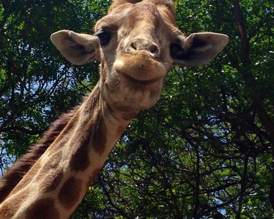 Güney Afrika Turum Vol.2: Safari!