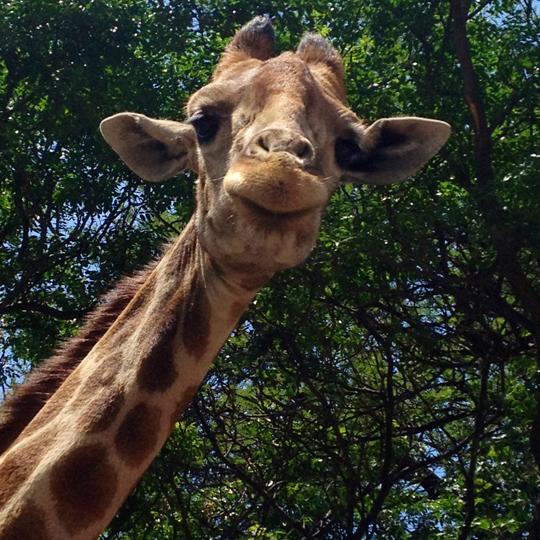 Safari – Zürafa