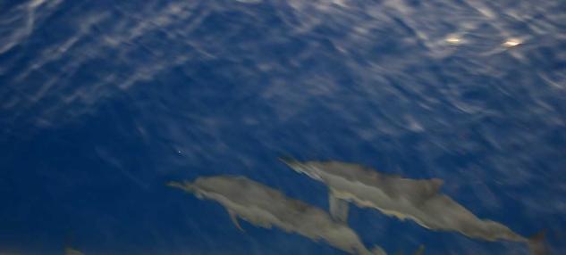 Maldivler yunuslar