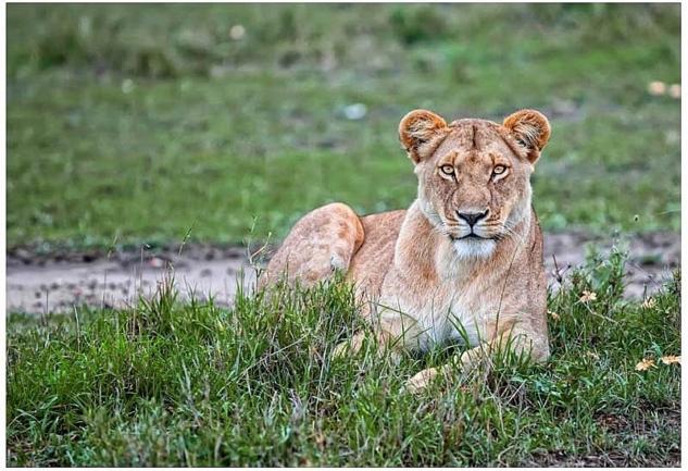 Masai Mara: Doğal Vahşi Yaşamın En Güzel Barınaklarından