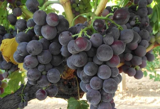 Türkiye'nin Şarap Rotaları