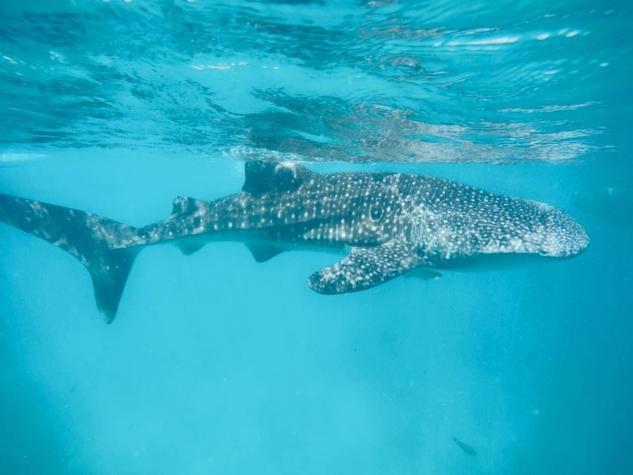 Balina Köpekbalıklarıyla dalış2, Oslob Filipinler