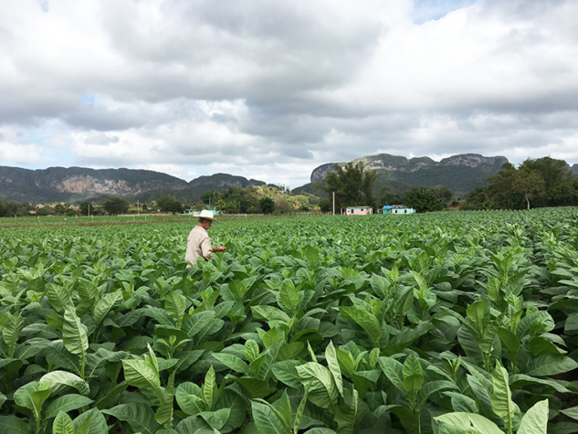 Vinales Küba tütün tarlaları