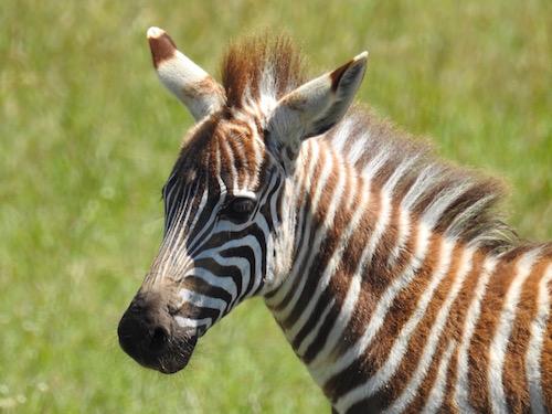bebek zebra