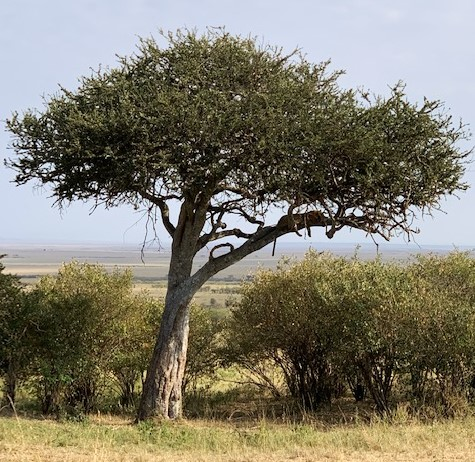 Masai Mara'da Safari