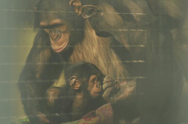 Şempanze Ailesi