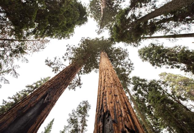 Sekoya Ormanı: 100 Metrelik Bilge Ağaçlar