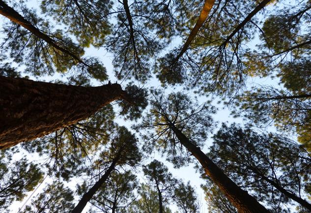 Taç Utangaçlığı: Mucizevi Bir Doğa Olayı