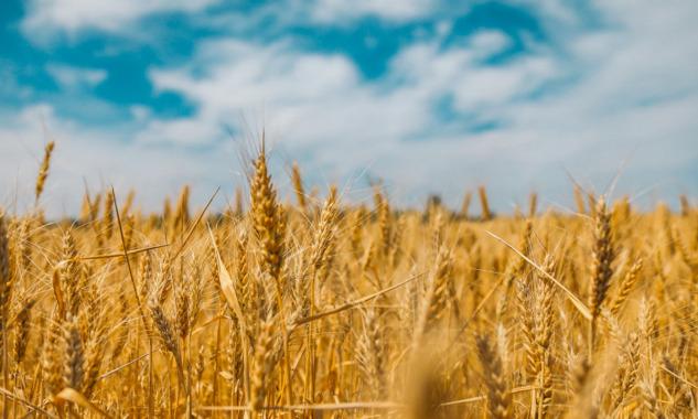 Altın Besin – Buğday