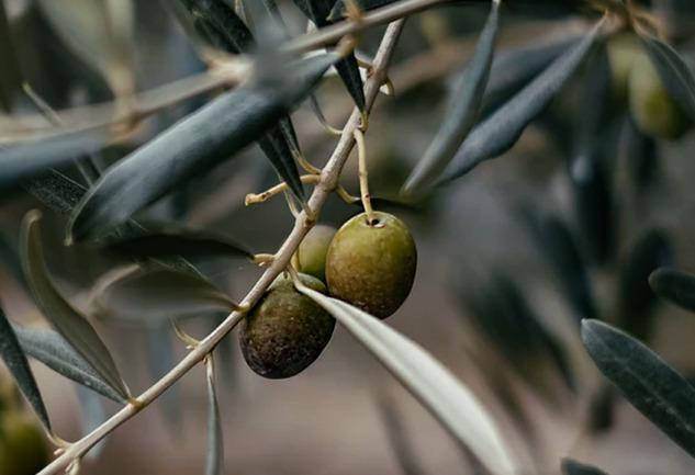 Zeytin ve Zeytinyağı: Mitolojide, Tarihte ve Güncel Yaşamda